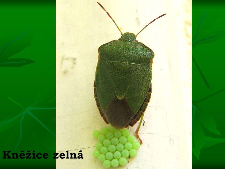 Kněžice zelná