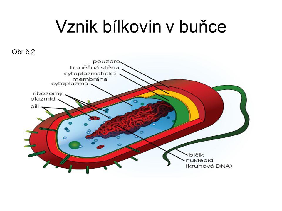 Vznik bílkovin v buňce Obr č.2