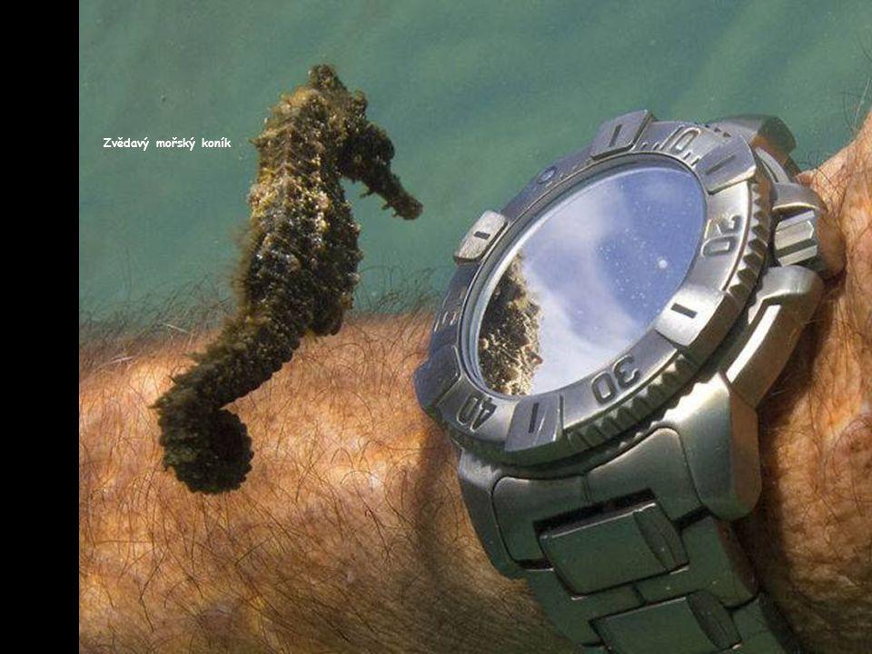Zvědavý mořský koník