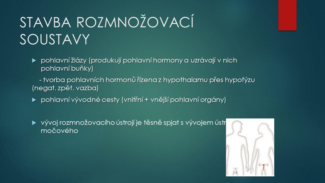 STAVBA ROZMNOŽOVACÍ SOUSTAVY  pohlavní žlázy (produkují pohlavní hormony a uzrávají v nich pohlavní buňky) - tvorba pohlavních hormonů řízena z hypot