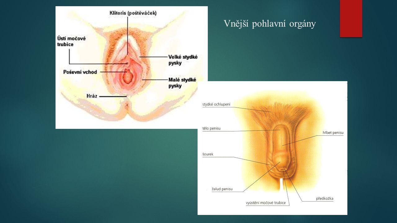Vnější pohlavní orgány