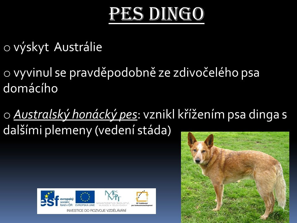 o výskyt Austrálie o vyvinul se pravděpodobně ze zdivočelého psa domácího o Australský honácký pes: vznikl křížením psa dinga s dalšími plemeny (veden