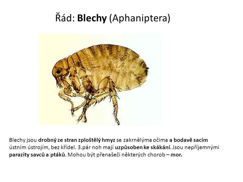 Řád: Blechy (Aphaniptera) Blechy jsou drobný ze stran zploštělý hmyz se zakrnělýma očima a bodavě sacím ústním ústrojím, bez křídel. 3.pár noh mají uz