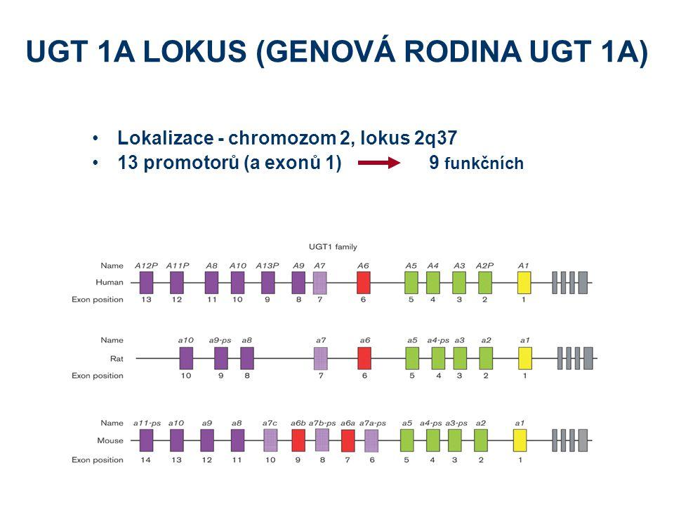 Lokalizace - chromozom 2, lokus 2q37 13 promotorů (a exonů 1)9 funkčních UGT 1A LOKUS (GENOVÁ RODINA UGT 1A)
