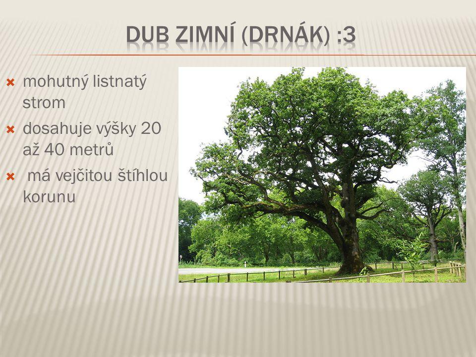  mohutný listnatý strom  dosahuje výšky 20 až 40 metrů  má vejčitou štíhlou korunu