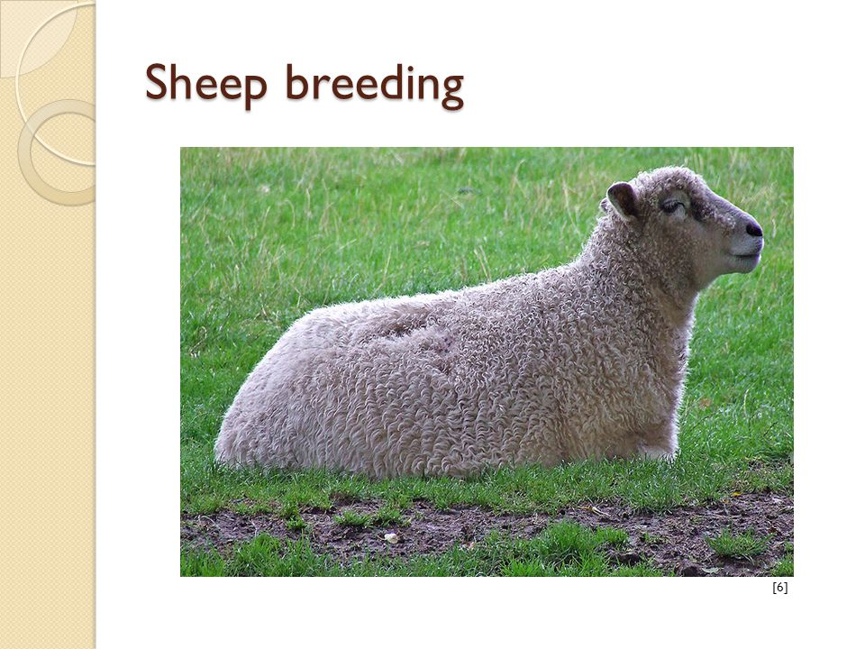 Sheep breeding [6]