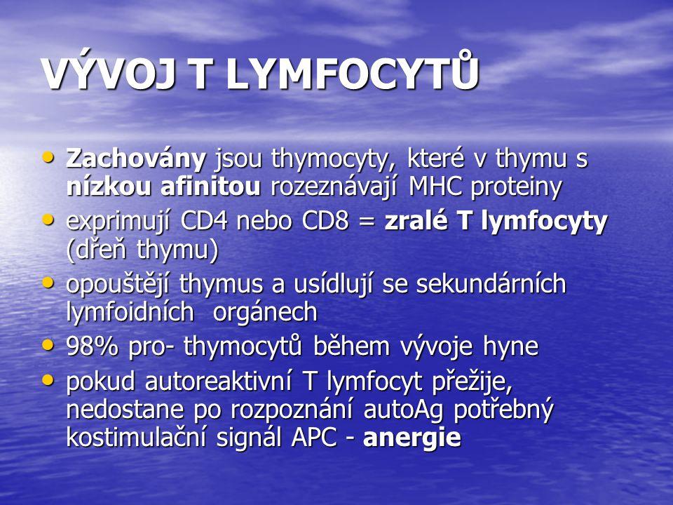 VÝVOJ T LYMFOCYTŮ Zachovány jsou thymocyty, které v thymu s nízkou afinitou rozeznávají MHC proteiny Zachovány jsou thymocyty, které v thymu s nízkou