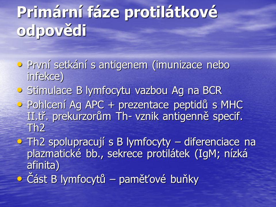 Primární fáze protilátkové odpovědi První setkání s antigenem (imunizace nebo infekce) První setkání s antigenem (imunizace nebo infekce) Stimulace B