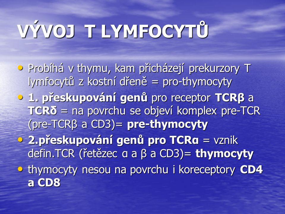 VÝVOJ T LYMFOCYTŮ Probíhá v thymu, kam přicházejí prekurzory T lymfocytů z kostní dřeně = pro-thymocyty Probíhá v thymu, kam přicházejí prekurzory T l