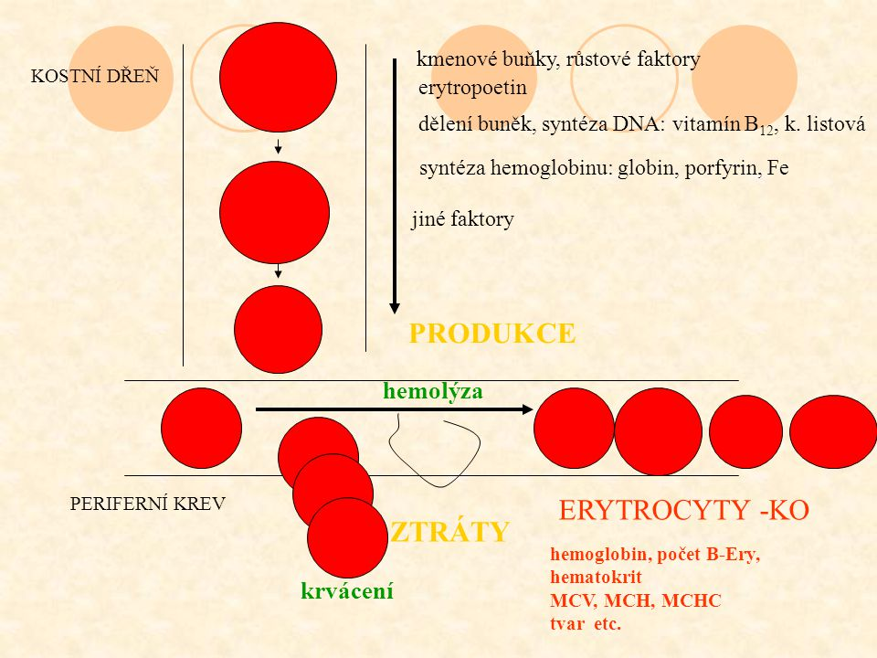 Rozdělení anémií podle příčiny snížená produkce –porucha kmenových buněk a diferenciace –porucha syntézy DNA –porucha syntézy hemoglobinu –nedostatek erytropoetinu kompletní ztráta erytropoezy má za výsledek pokles počtu erytrocytů 10% za týden zvýšená destrukce erytrocytů - hemolýza –defekt erytrocytů –extraerytrocytární příčiny zvýšené ztráty krve - krvácení maldistribuce (hyperslenismus, pooling ve slezině)
