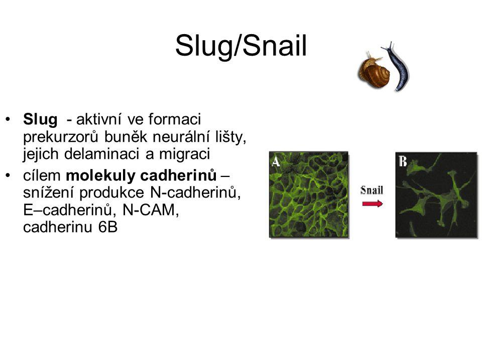 Slug/Snail Slug - aktivní ve formaci prekurzorů buněk neurální lišty, jejich delaminaci a migraci cílem molekuly cadherinů – snížení produkce N-cadherinů, E–cadherinů, N-CAM, cadherinu 6B
