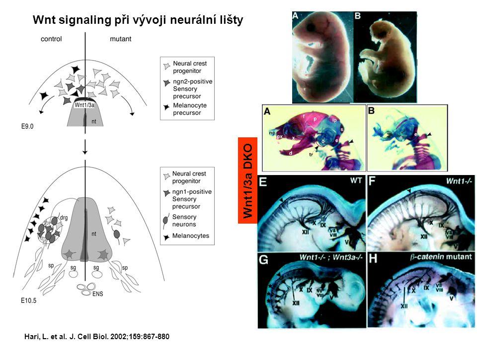 Hari, L. et al. J. Cell Biol. 2002;159:867-880 Wnt signaling při vývoji neurální lišty Wnt1/3a DKO