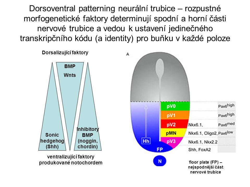 ventralizující faktory produkované notochordem floor plate (FP) – nejspodnější část nervové trubice Dorsoventral patterning neurální trubice – rozpustné morfogenetické faktory determinují spodní a horní části nervové trubice a vedou k ustavení jedinečného transkripčního kódu (a identity) pro buňku v každé poloze Sonic hedgehog (Shh) Inhibitory BMP (noggin, chordin) BMP Wnts Dorsalizující faktory