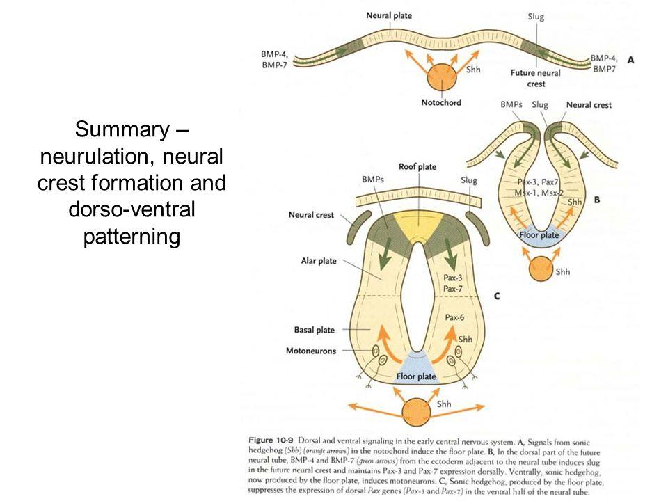 Summary – neurulation, neural crest formation and dorso-ventral patterning