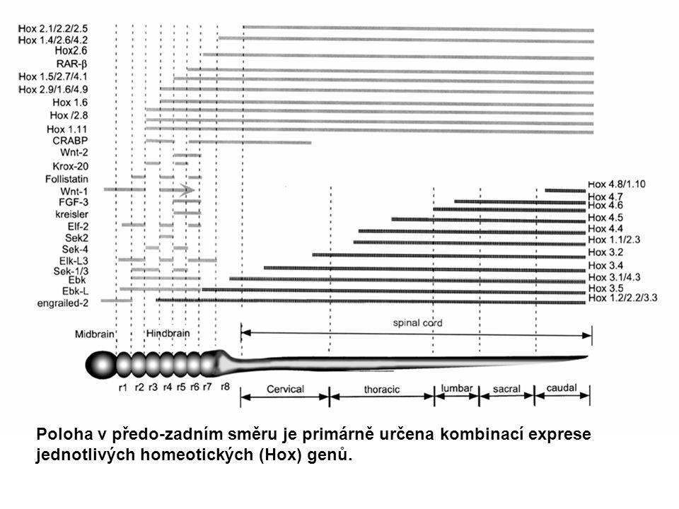 Poloha v předo-zadním směru je primárně určena kombinací exprese jednotlivých homeotických (Hox) genů.