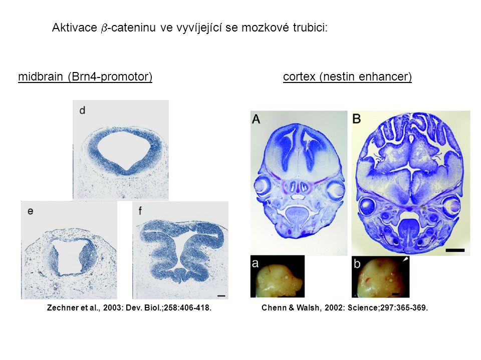 Aktivace  -cateninu ve vyvíjející se mozkové trubici: Chenn & Walsh, 2002: Science;297:365-369.
