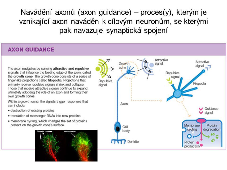 Navádění axonů (axon guidance) – proces(y), kterým je vznikající axon naváděn k cílovým neuronům, se kterými pak navazuje synaptická spojení