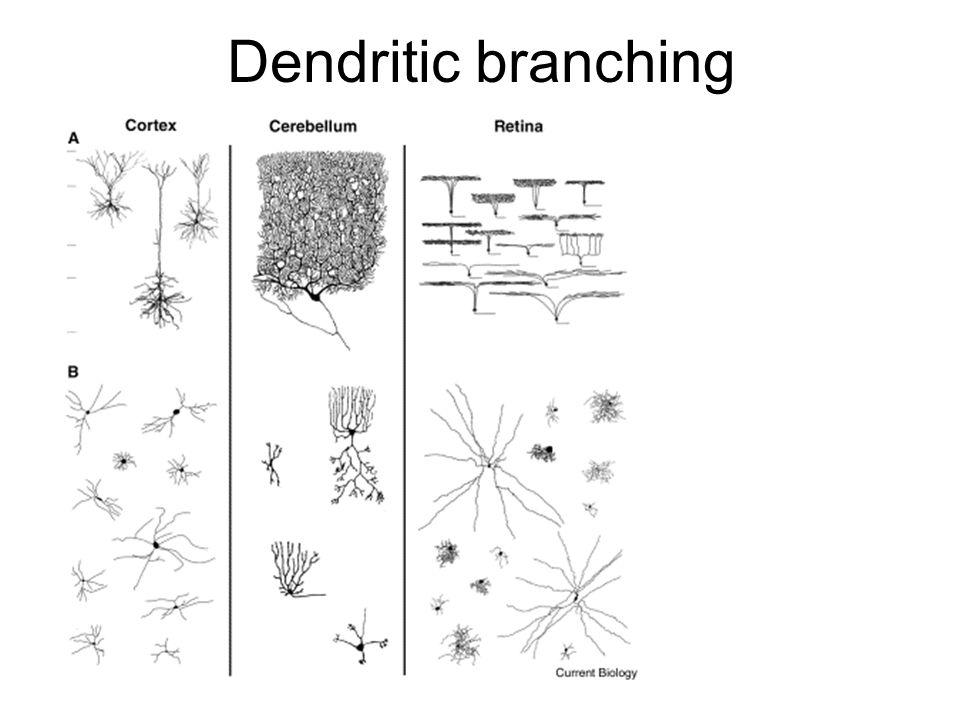 Dendritic branching
