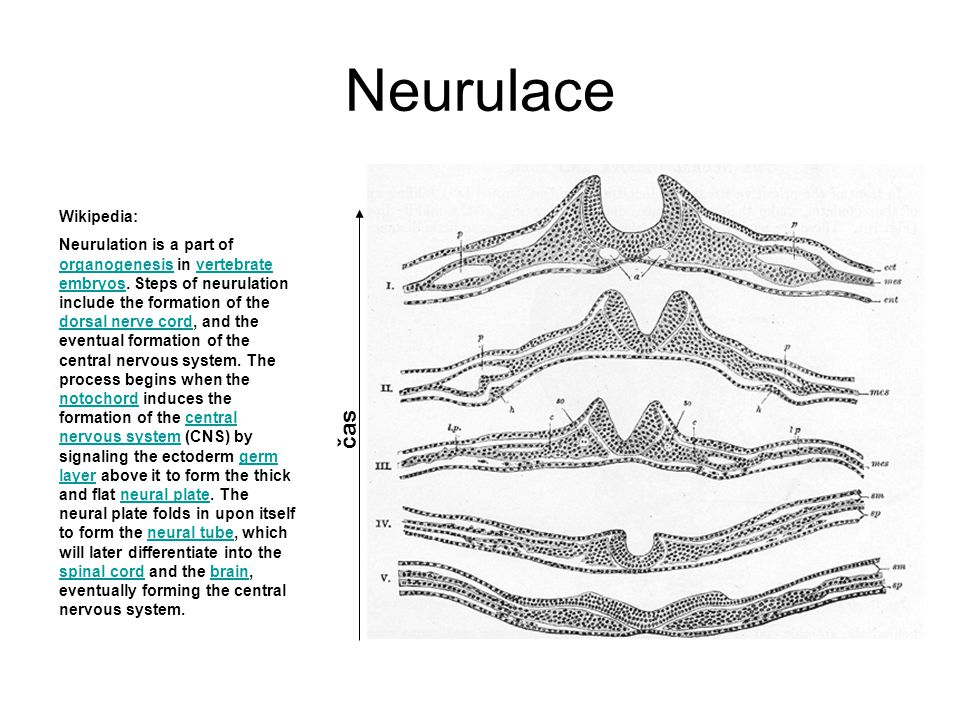 Neurulace čas Wikipedia: Neurulation is a part of organogenesis in vertebrate embryos. Steps of neurulation include the formation of the dorsal nerve