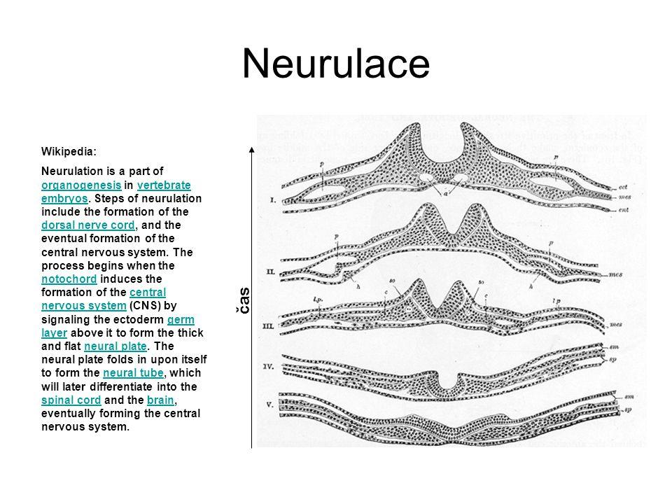 Neurulace čas Wikipedia: Neurulation is a part of organogenesis in vertebrate embryos.