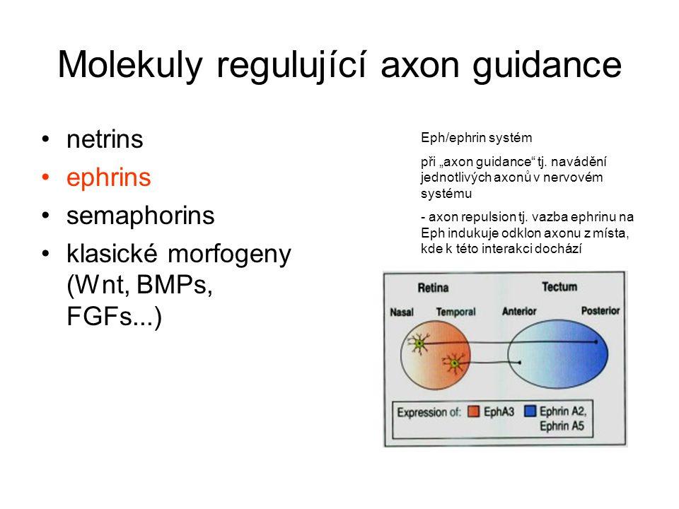 """Eph/ephrin systém při """"axon guidance"""" tj. navádění jednotlivých axonů v nervovém systému - axon repulsion tj. vazba ephrinu na Eph indukuje odklon axo"""