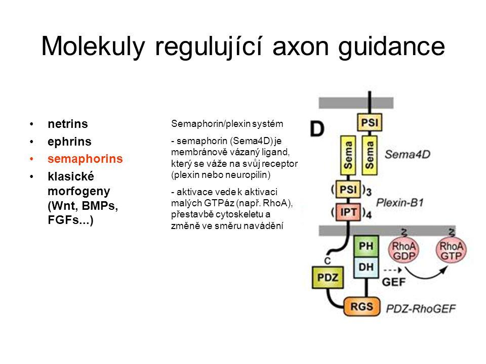 Semaphorin/plexin systém - semaphorin (Sema4D) je membránově vázaný ligand, který se váže na svůj receptor (plexin nebo neuropilin) - aktivace vede k aktivaci malých GTPáz (např.