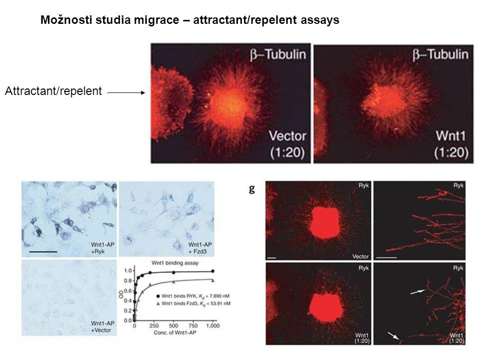 Možnosti studia migrace – attractant/repelent assays Attractant/repelent