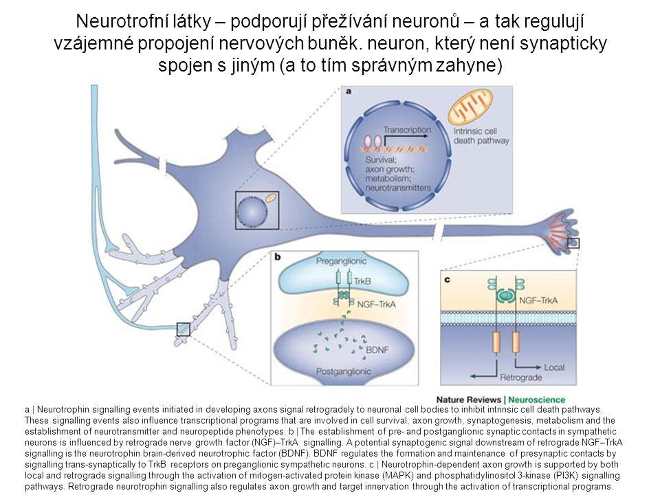 Neurotrofní látky – podporují přežívání neuronů – a tak regulují vzájemné propojení nervových buněk. neuron, který není synapticky spojen s jiným (a t
