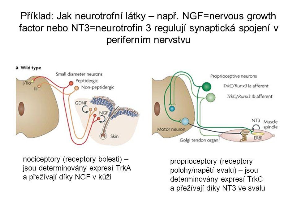 Příklad: Jak neurotrofní látky – např. NGF=nervous growth factor nebo NT3=neurotrofin 3 regulují synaptická spojení v periferním nervstvu nociceptory