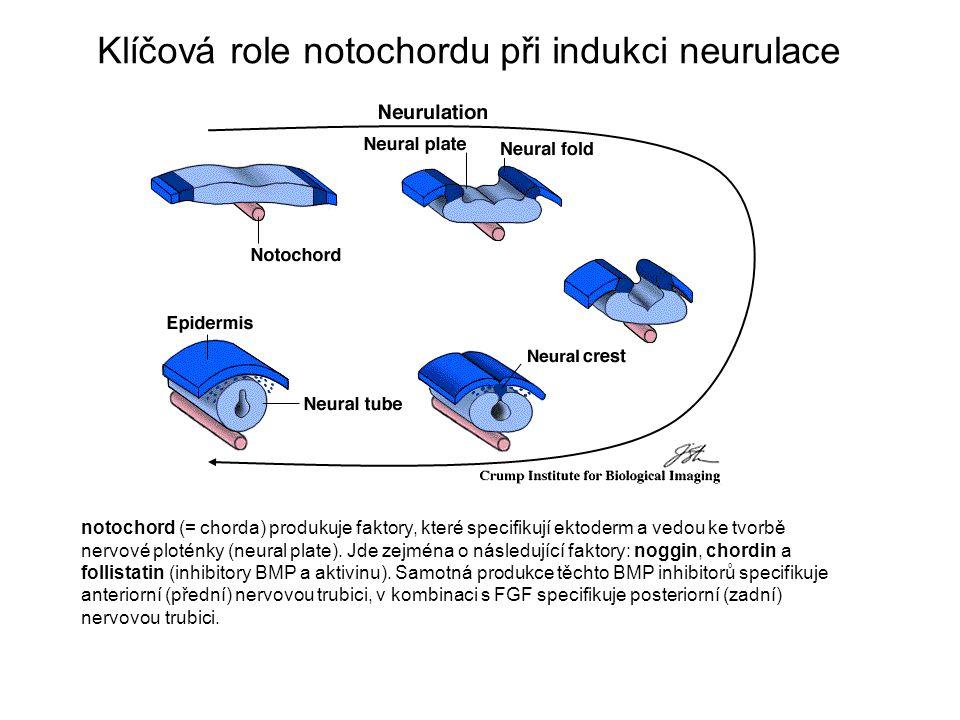Klíčová role notochordu při indukci neurulace notochord (= chorda) produkuje faktory, které specifikují ektoderm a vedou ke tvorbě nervové ploténky (neural plate).