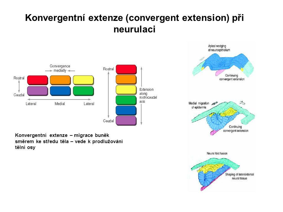 Konvergentní extenze – migrace buněk směrem ke středu těla – vede k prodlužování tělní osy Konvergentní extenze (convergent extension) při neurulaci