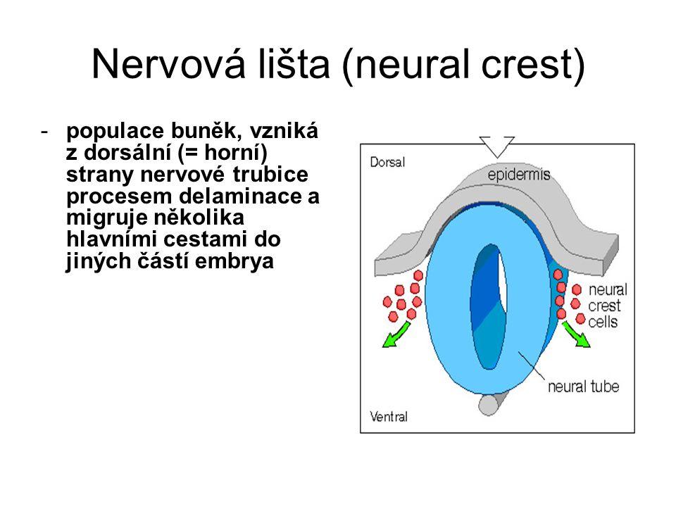 Nervová lišta (neural crest) -populace buněk, vzniká z dorsální (= horní) strany nervové trubice procesem delaminace a migruje několika hlavními cestami do jiných částí embrya