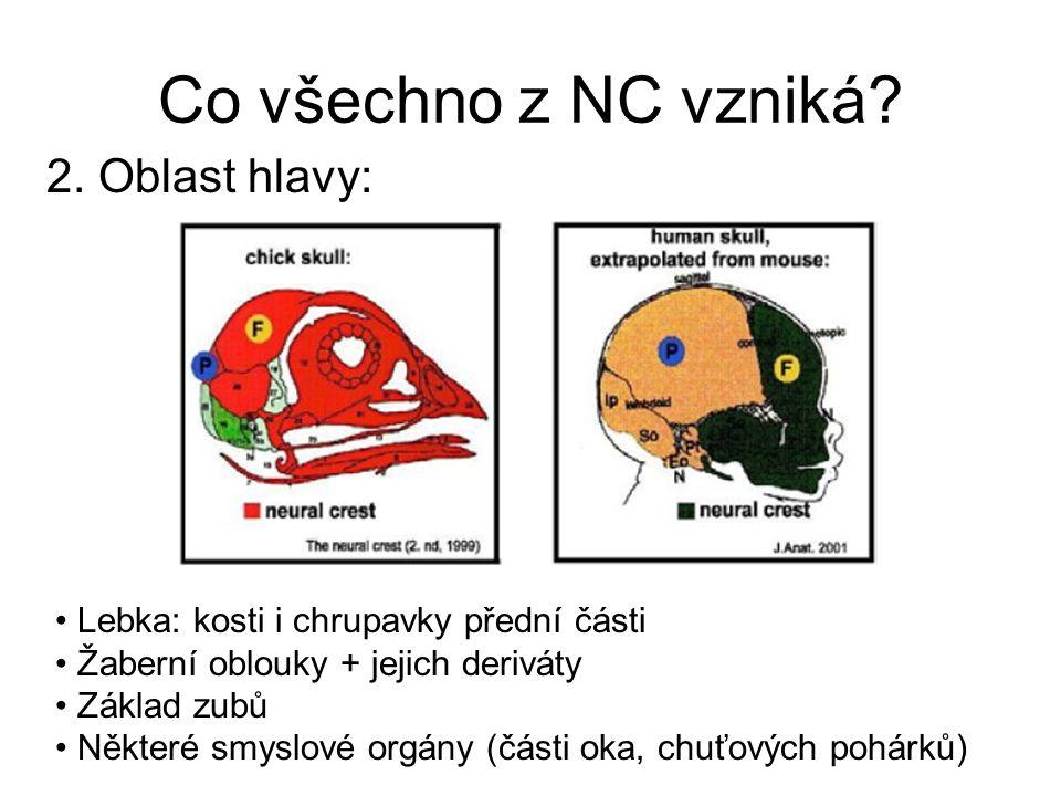 Co všechno z NC vzniká? 2. Oblast hlavy: Lebka: kosti i chrupavky přední části Žaberní oblouky + jejich deriváty Základ zubů Některé smyslové orgány (