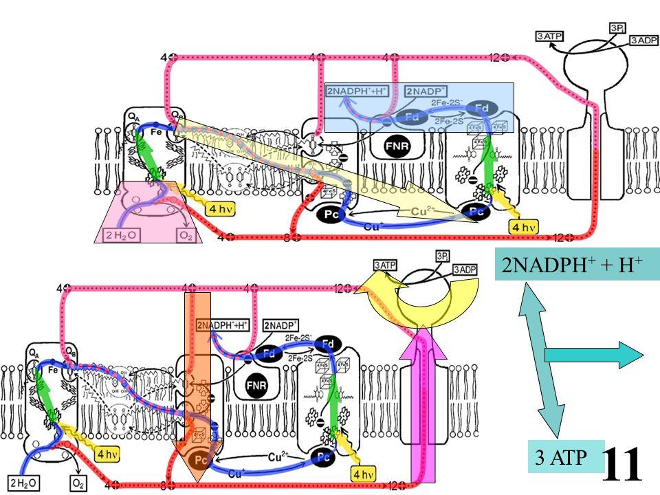 2NADPH + + H + 3 ATP 11