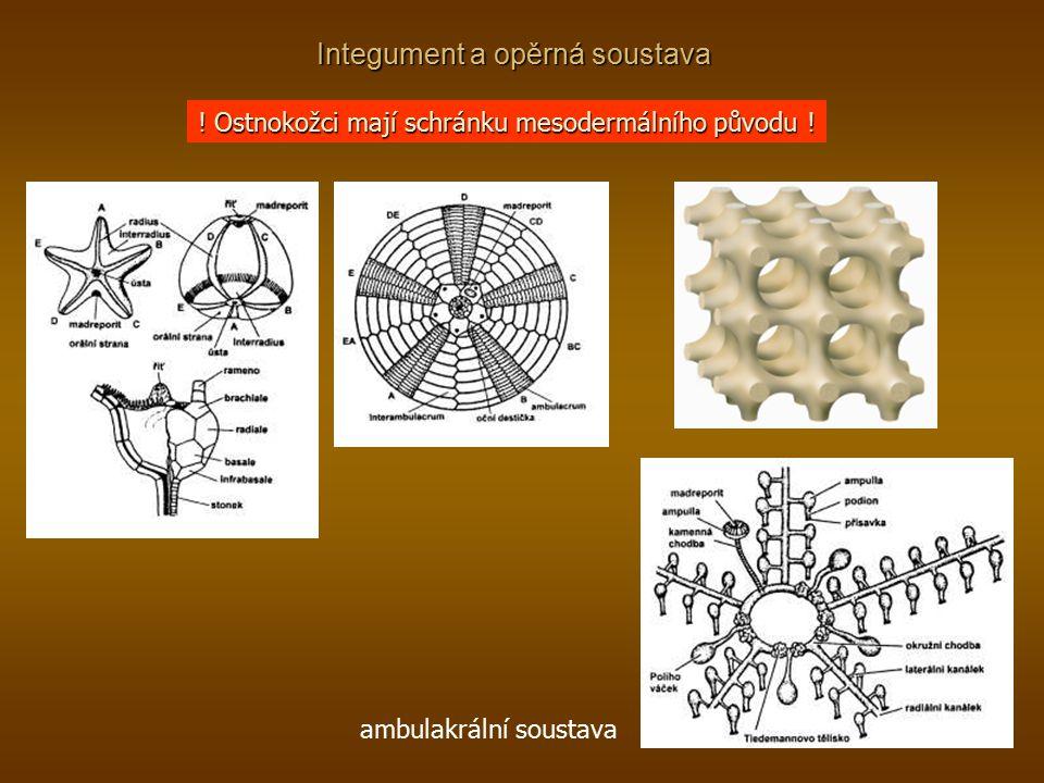 ! Ostnokožci mají schránku mesodermálního původu ! ambulakrální soustava