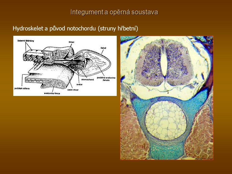 Integument a opěrná soustava Hydroskelet a původ notochordu (struny hřbetní)