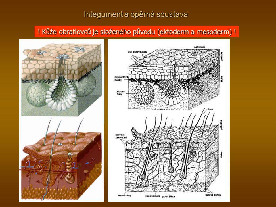 Integument a opěrná soustava ! Kůže obratlovců je složeného původu (ektoderm a mesoderm) !