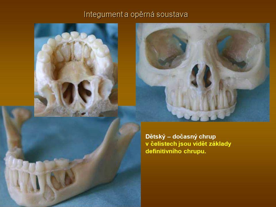 Integument a opěrná soustava Dětský – dočasný chrup v čelistech jsou vidět základy definitivního chrupu.