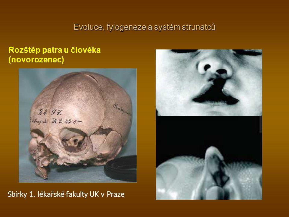 Rozštěp patra u člověka (novorozenec) Evoluce, fylogeneze a systém strunatců Sbírky 1. lékařské fakulty UK v Praze