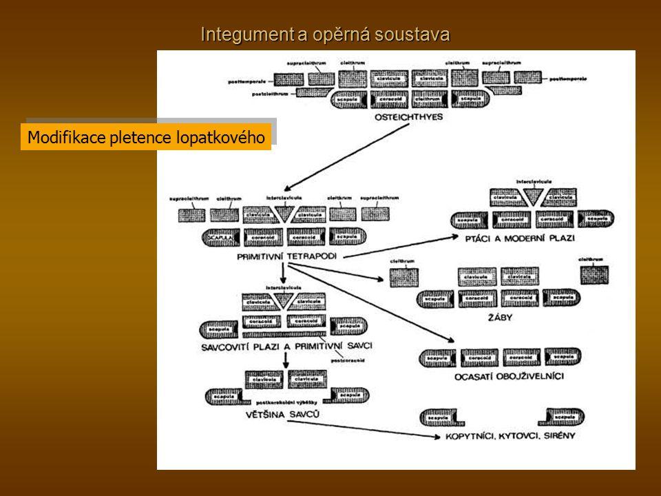Integument a opěrná soustava Modifikace pletence lopatkového