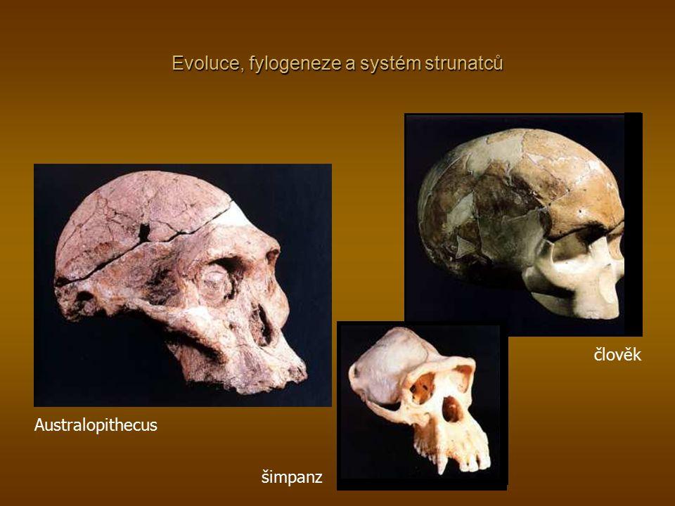 Evoluce, fylogeneze a systém strunatců Australopithecus šimpanz člověk