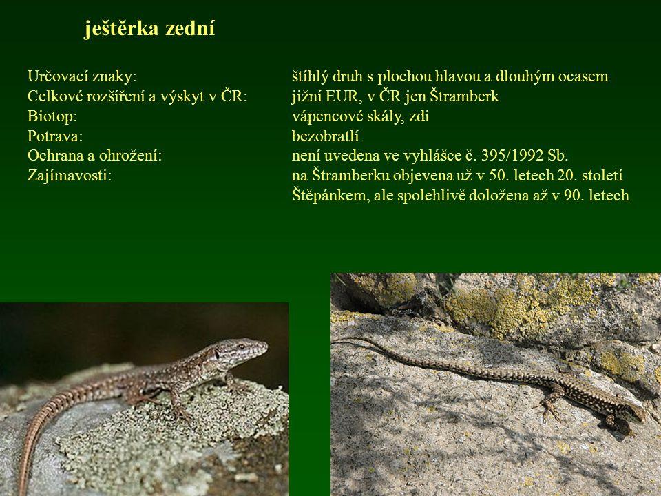ještěrka zední Určovací znaky:štíhlý druh s plochou hlavou a dlouhým ocasem Celkové rozšíření a výskyt v ČR: jižní EUR, v ČR jen Štramberk Biotop:vápe