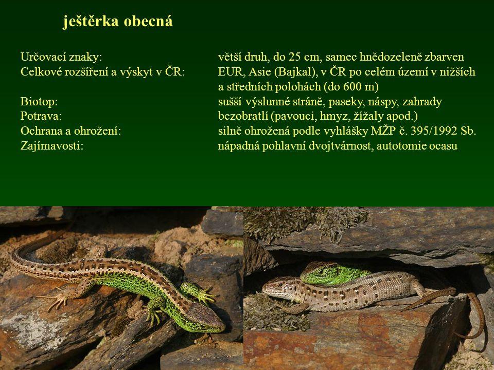 ještěrka obecná Určovací znaky:větší druh, do 25 cm, samec hnědozeleně zbarven Celkové rozšíření a výskyt v ČR: EUR, Asie (Bajkal), v ČR po celém územ