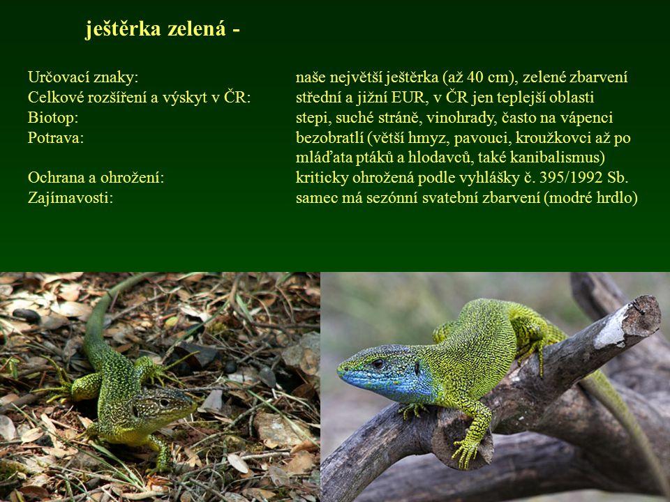 ještěrka zelená - Určovací znaky:naše největší ještěrka (až 40 cm), zelené zbarvení Celkové rozšíření a výskyt v ČR: střední a jižní EUR, v ČR jen tep