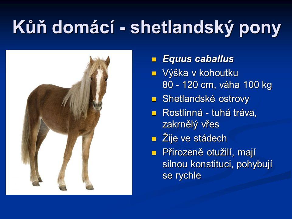 Kůň domácí - shetlandský pony Equus caballus Výška v kohoutku 80 - 120 cm, váha 100 kg Shetlandské ostrovy Rostlinná - tuhá tráva, zakrnělý vřes Žije ve stádech Přirozeně otužilí, mají silnou konstituci, pohybují se rychle