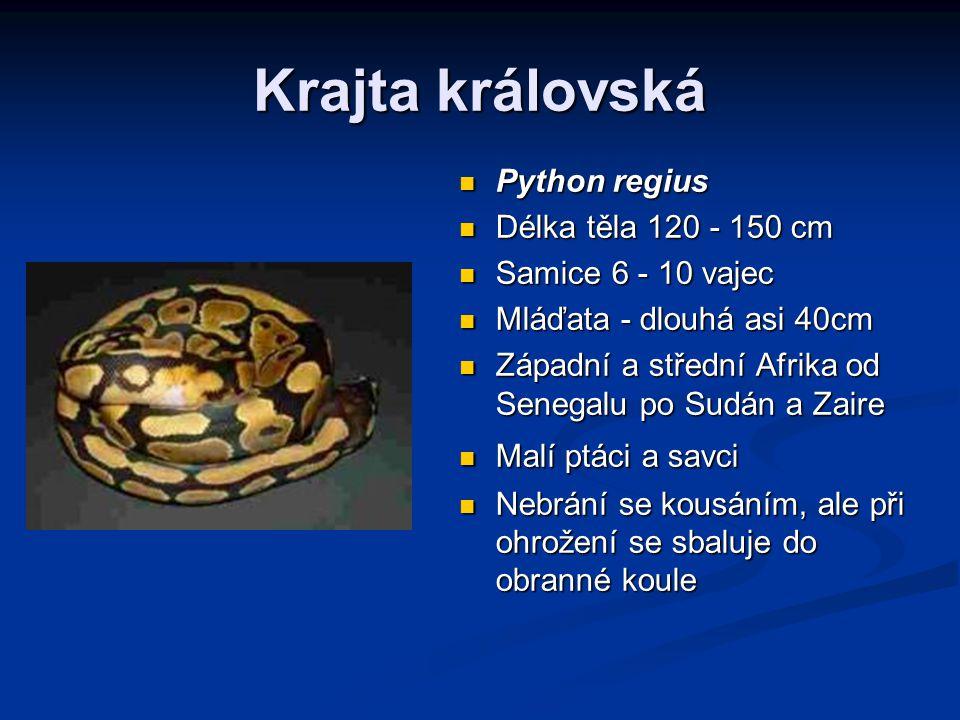 Krajta královská Python regius Délka těla 120 - 150 cm Samice 6 - 10 vajec Mláďata - dlouhá asi 40cm Západní a střední Afrika od Senegalu po Sudán a Zaire Malí ptáci a savci Nebrání se kousáním, ale při ohrožení se sbaluje do obranné koule