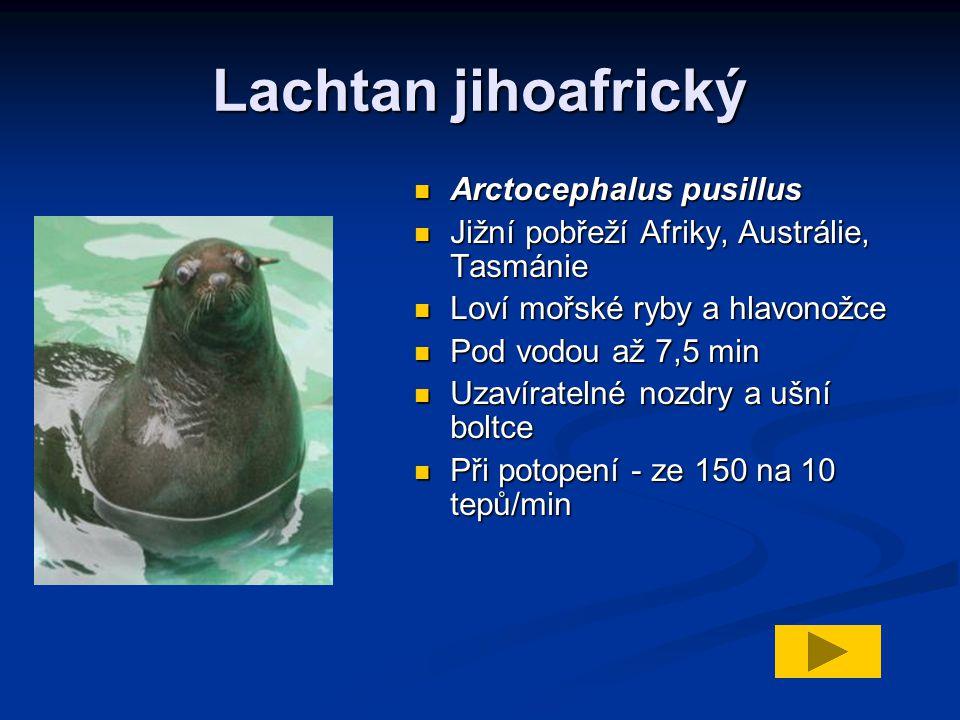 Lachtan jihoafrický Arctocephalus pusillus Jižní pobřeží Afriky, Austrálie, Tasmánie Loví mořské ryby a hlavonožce Pod vodou až 7,5 min Uzavíratelné nozdry a ušní boltce Při potopení - ze 150 na 10 tepů/min