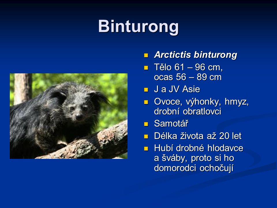 Binturong Arctictis binturong Tělo 61 – 96 cm, ocas 56 – 89 cm J a JV Asie Ovoce, výhonky, hmyz, drobní obratlovci Samotář Délka života až 20 let Hubí drobné hlodavce a šváby, proto si ho domorodci ochočují