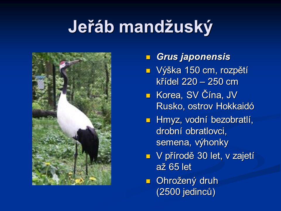 Jeřáb mandžuský Grus japonensis Výška 150 cm, rozpětí křídel 220 – 250 cm Korea, SV Čína, JV Rusko, ostrov Hokkaidó Hmyz, vodní bezobratlí, drobní obratlovci, semena, výhonky V přírodě 30 let, v zajetí až 65 let Ohrožený druh (2500 jedinců)