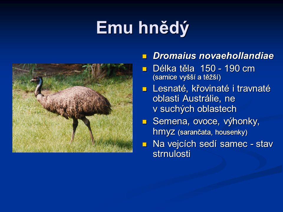 Emu hnědý Dromaius novaehollandiae Délka těla 150 - 190 cm (samice vyšší a těžší) Lesnaté, křovinaté i travnaté oblasti Austrálie, ne v suchých oblastech Semena, ovoce, výhonky, hmyz (sarančata, housenky) Na vejcích sedí samec - stav strnulosti